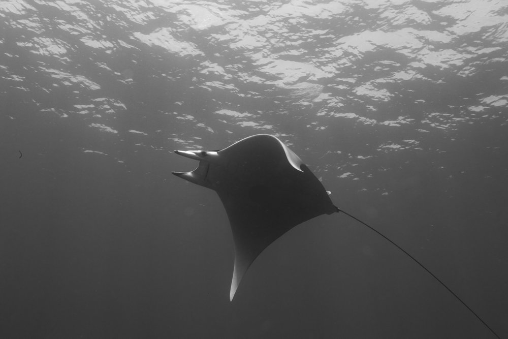Both manta and mobula rays are already protected worldwide under CITES Appendix II.    Klaus Stiefel/Flickr  (BY-NC 2.0)