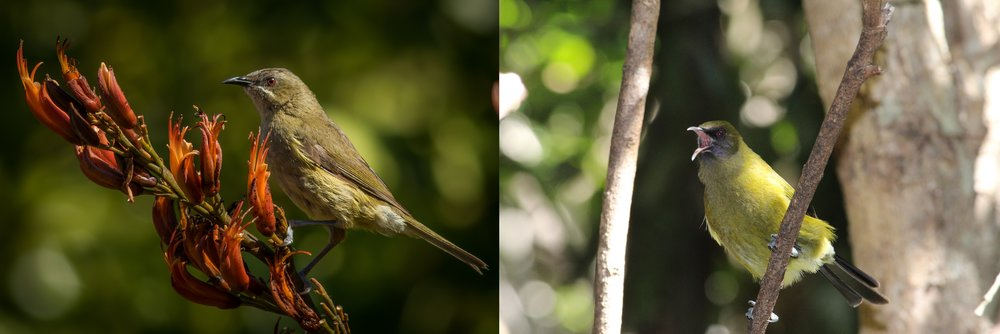A female (left) and male New Zealand bellbird  (Anthornis melanura) .  © Aaron Harmer; © Michelle Roper