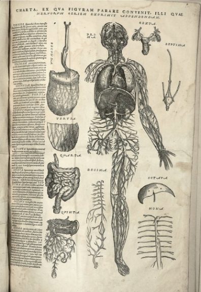 Anatomical drawings by Andreas Vesalius (circa 1543), depicting the circulatory system, intestines, and other organs. National Library of Medicine/Wikimedia Commons (public domain)