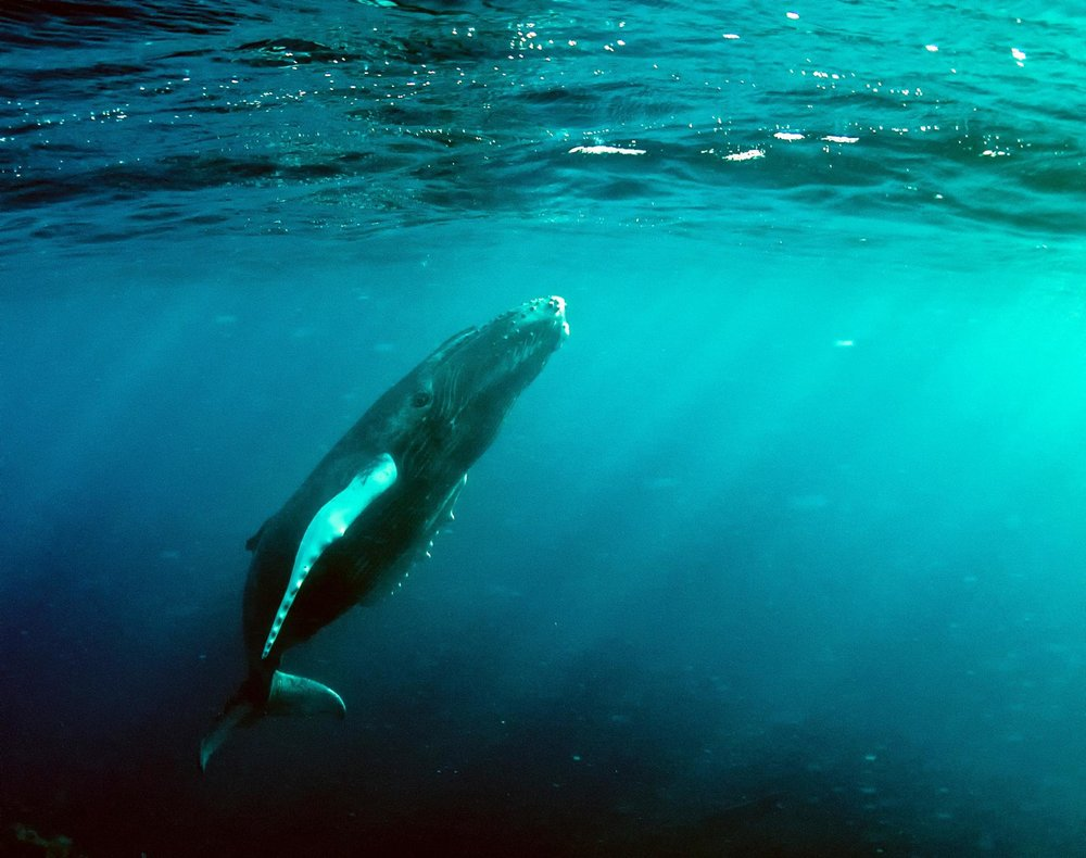 Cetaceans, such as whales and dolphins, use acoustic signals underwater as a form of communication and sight. Christopher Michel/Flickr (CC BY 2.0)