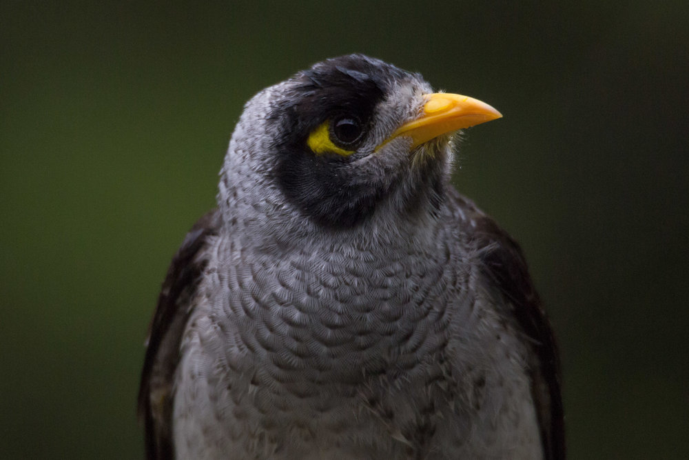 The noisy miner is often regarded as a pest species, despite being native to Australia.   Stuart Ash/Flickr  (CC BY-NC 2.0)