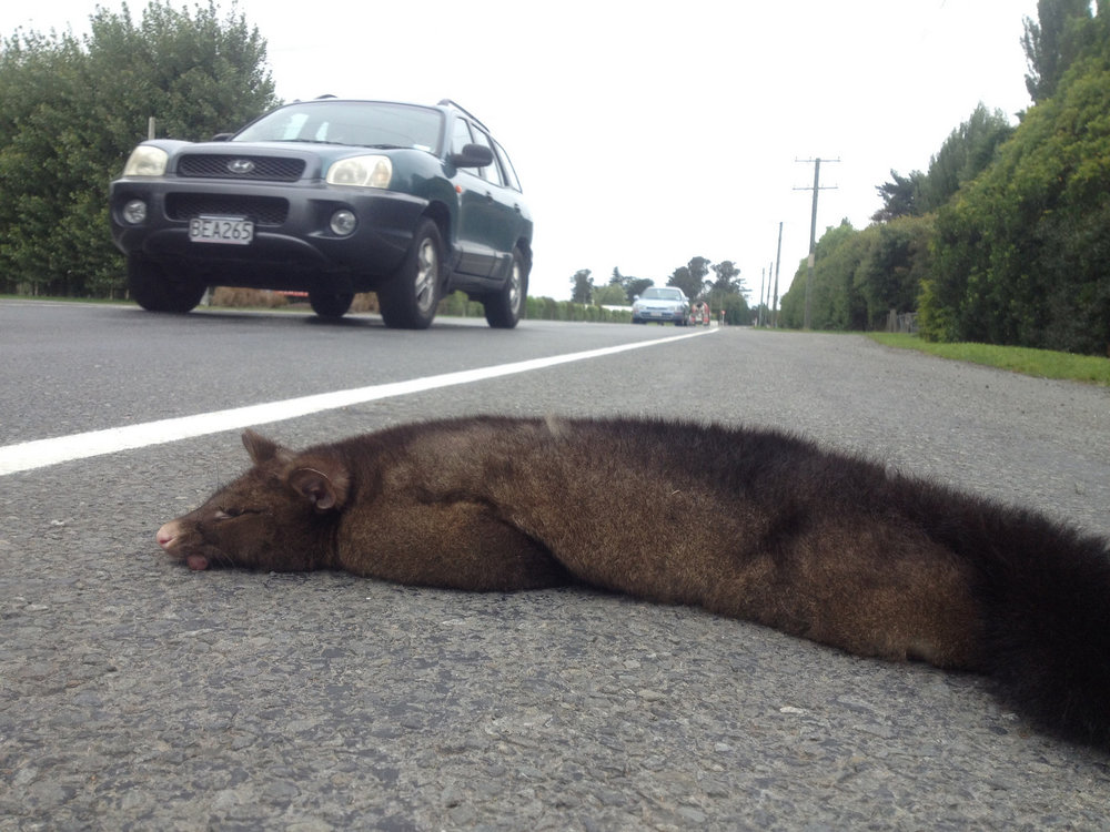 A common brushtail possum meets its end on a New Zealand road.   Jon Sullivan/Flickr  (CC BY-NC 2.0)