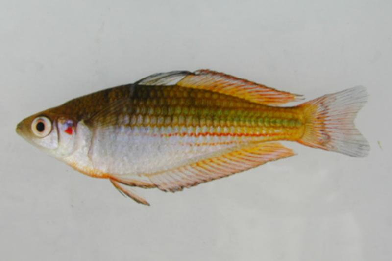 Australian Museum/Fishes of Australia    (CC BY-NC-SA)