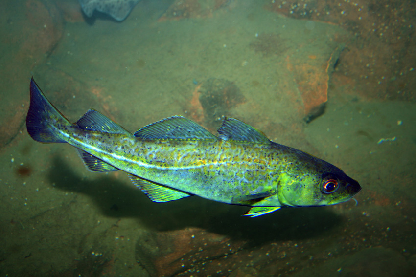 The Cod Wars erupted in between Iceland and the UK over fishing rights in the Arctic.   Magnus Manske/Wikimedia Commons  (CC-BY-2.0)