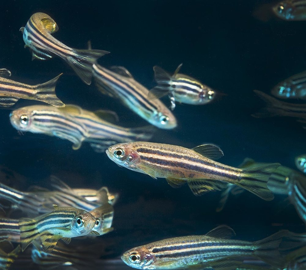 Zebrafish are already being used in reproductive biology labs around the world because they breed fast, and because their larvae are naturally transparent.   Oregon State University/Wikimeda Commons  (CC BY-SA 2.0)