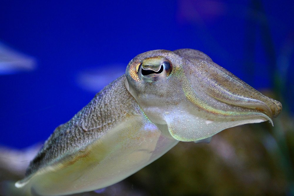 In some animal ethics frameworks, protection is extended beyond vertebrates to include squid, octopuses and cuttlefish.   Martin Cathrae/Flickr  (CC BY-SA 2.0)