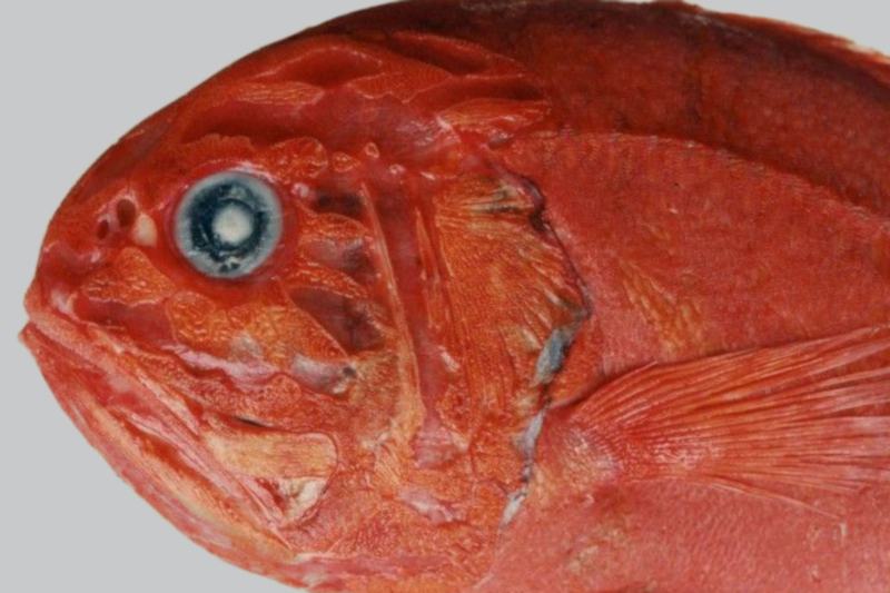The orange roughy: Unloved in this survey, but certainly not forgotten.    Daphne Themelis/Fisheries and Oceans Canada/ WORMS    (CC BY-NC-SA)