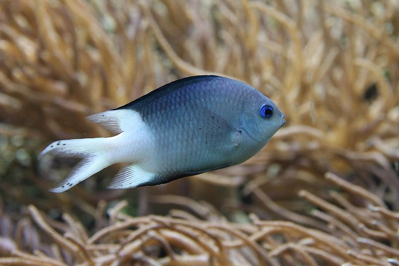The spiny chromis damselfish found a loyal online following, despite being absent from the official shortlist.   Nikita/Wikimedia Commons  (CC BY 2.0)