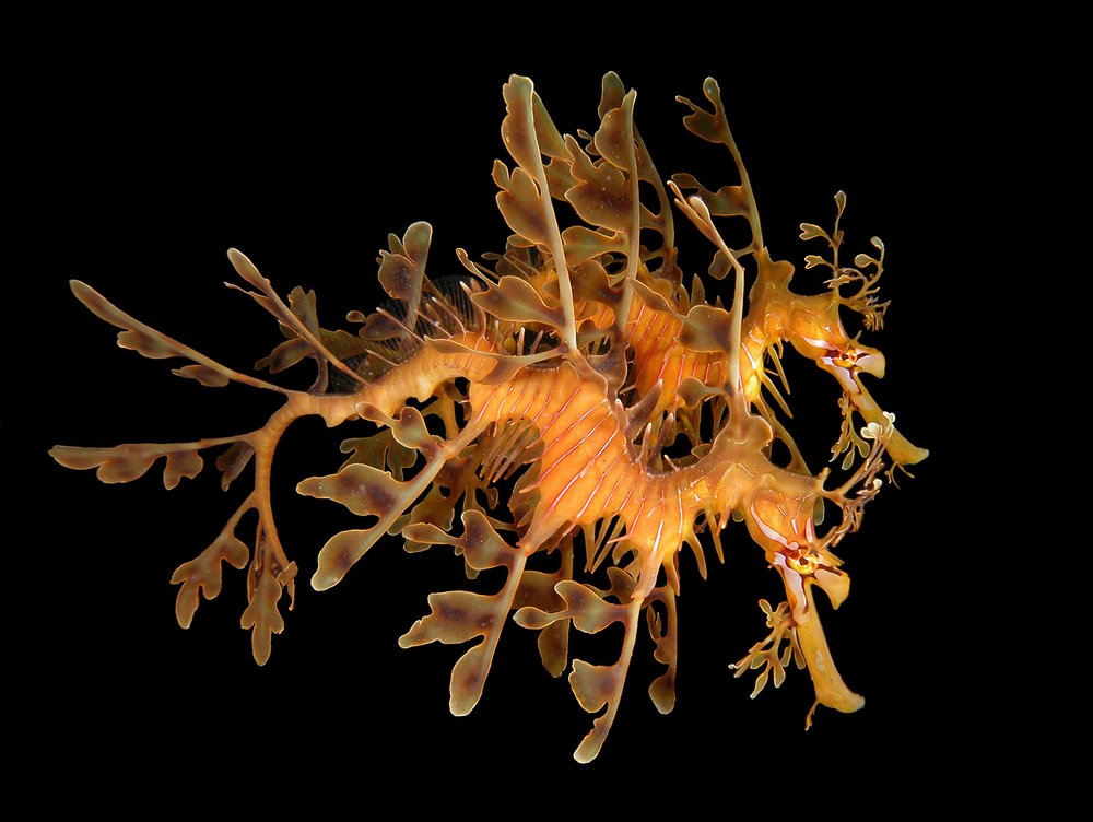The leafy seadragon has been confirmed as    Australia's favourite fish   .  © David Harasti