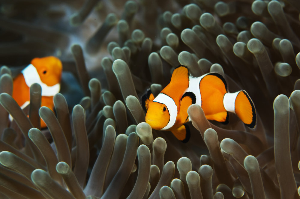 The clownfish is perhaps the world's most widely-recognised reef fish.   Aqua Immersion/Flickr  (CC BY-NC-ND 2.0)