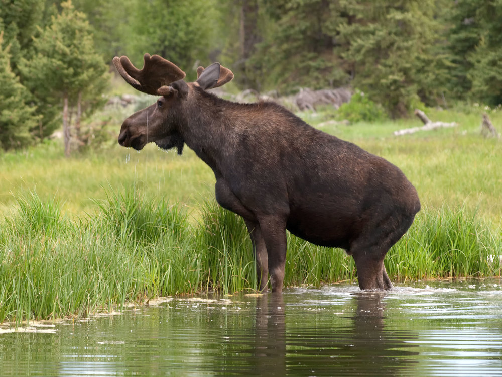 Large terrestrial animals, such as moose, can transport other species' DNA from one water body to another.   Walter Ezell/Wikimedia Commons  (CC BY 3.0)