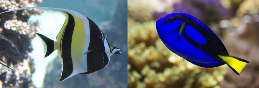 Moorish idol (left) and blue tang (right) are both especially vulnerable to overharvesting for the aquarium trade.   Ted/Flickr  (CC BY-SA 2.0);  Nathan Rupert/Flickr  (CC BY-NC-ND 2.0)
