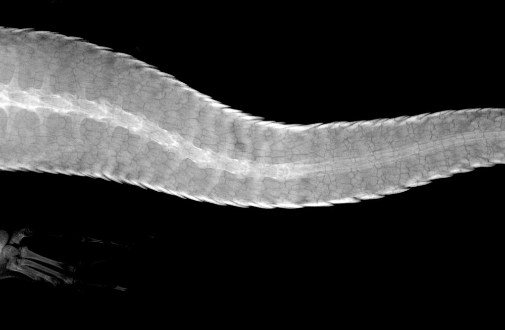 X-ray image of a King's skink tail after autotomy and regrowth, with the vertebrae replaced by cartilage. © James Barr/Western Australia Museum