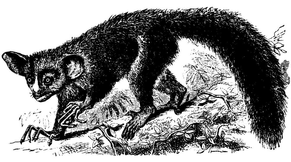 The otherworldly features of the aye aye in Madagascar were astounding to 19th-century European explorers.   St. George Mivart, F.R.S.  (CC BY-SA 3.0)