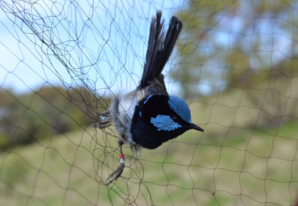 A male superb fairy-wren in a mist-net, a common method of capturing birds for banding and monitoring. © Andrew Katsis