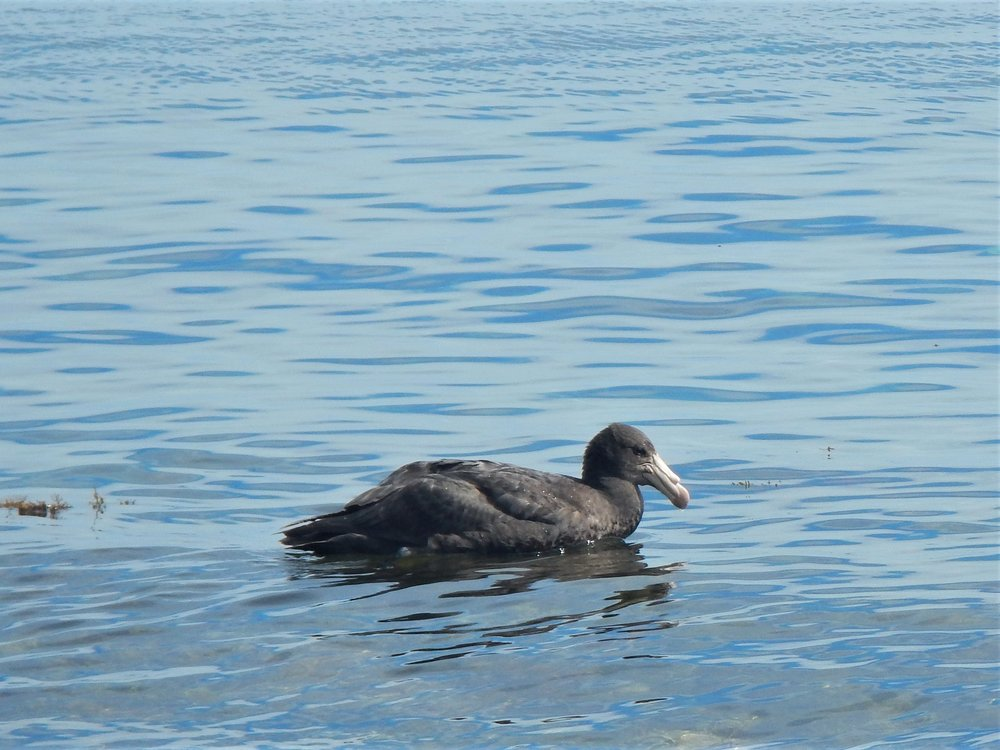 Giant petrels are not typically found on Little Barrier Island, so this vagrant must have lost its way. © Eli Sooker