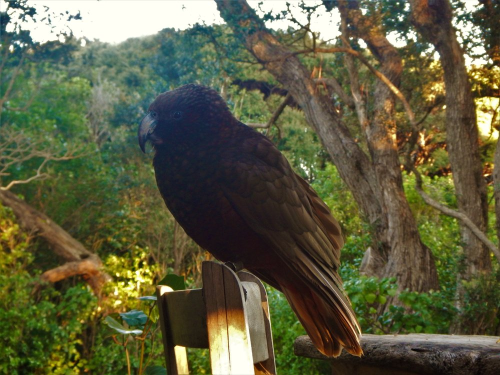 The New Zealand kaka, a large and endangered parrot species. ©Eli Sooker