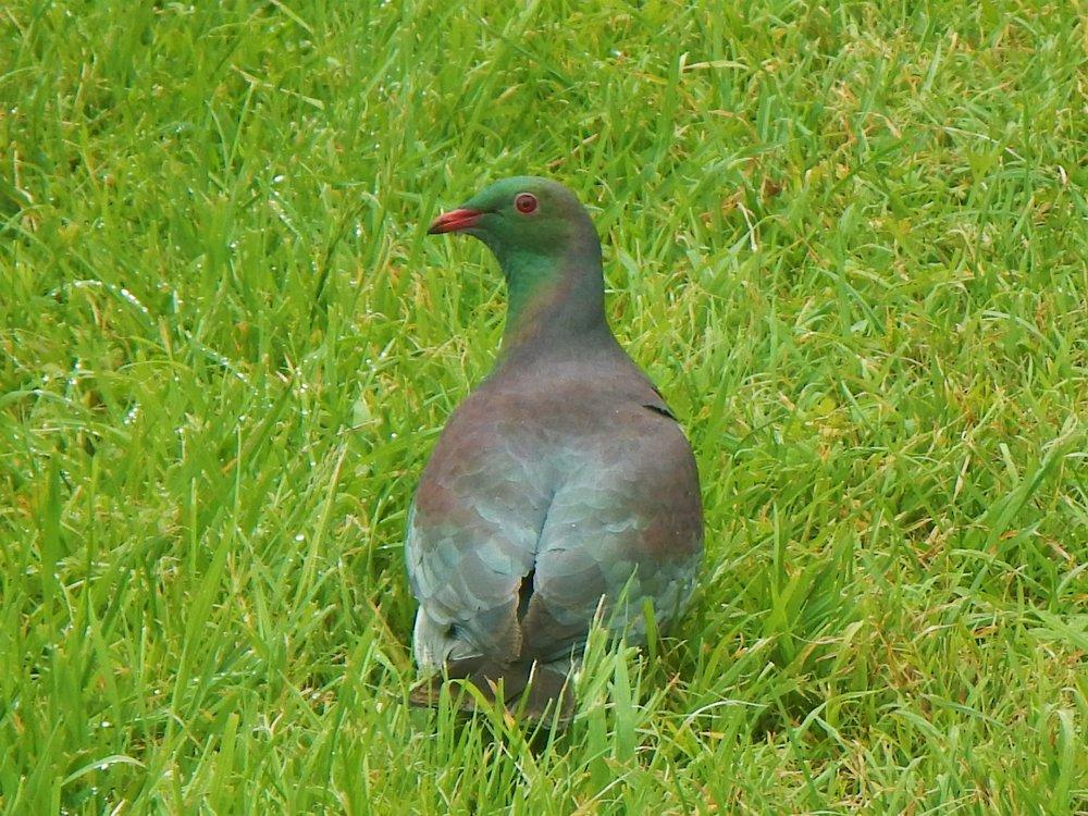 A kereru, also known as a New Zealand pigeon. © Eli Sooker