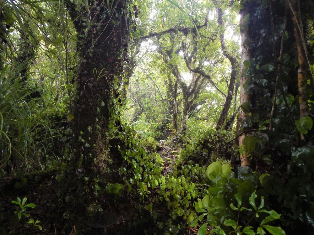 Cloud forest in the upper reaches of Little Barrier. ©   Eli Sooker