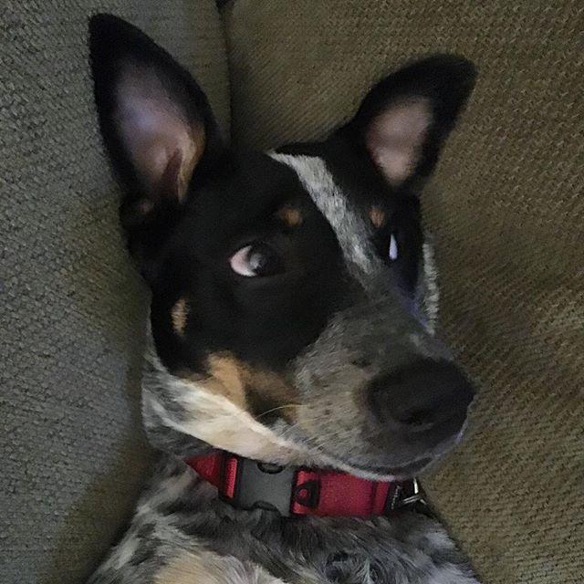 Pilsner giving side-eye. . . . #puppy #puppiesofig #cattledog #acd #australiancattledog #blueheeler #blueheelerpuppy #sideeye #dog #dogsofig #sassy #rescuedog #heelermoments