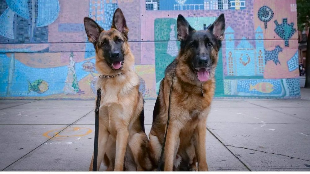 8 Week Board and Train Program - $8,125 - This program is what we would suggest for everyone, but we all know that leaving your dog for 8 weeks can be difficult. The more time we have to really hone in on a dog's training the better habits they will form. Eight weeks is for all dogs from puppies to older dogs and with any behavioral issue.