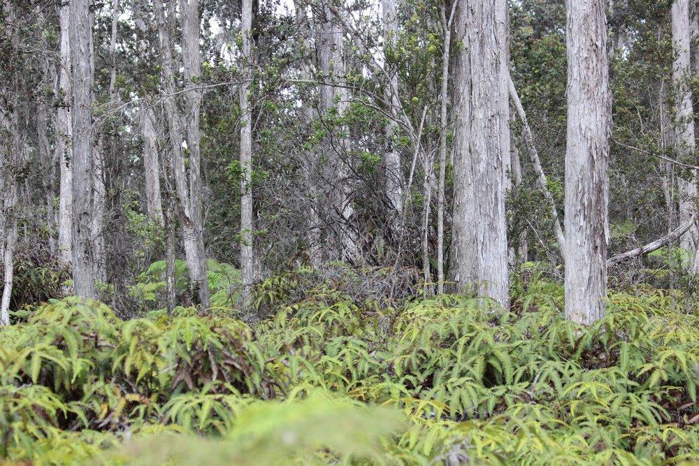 reforestation+reforest_hawaii_nyala.jpg