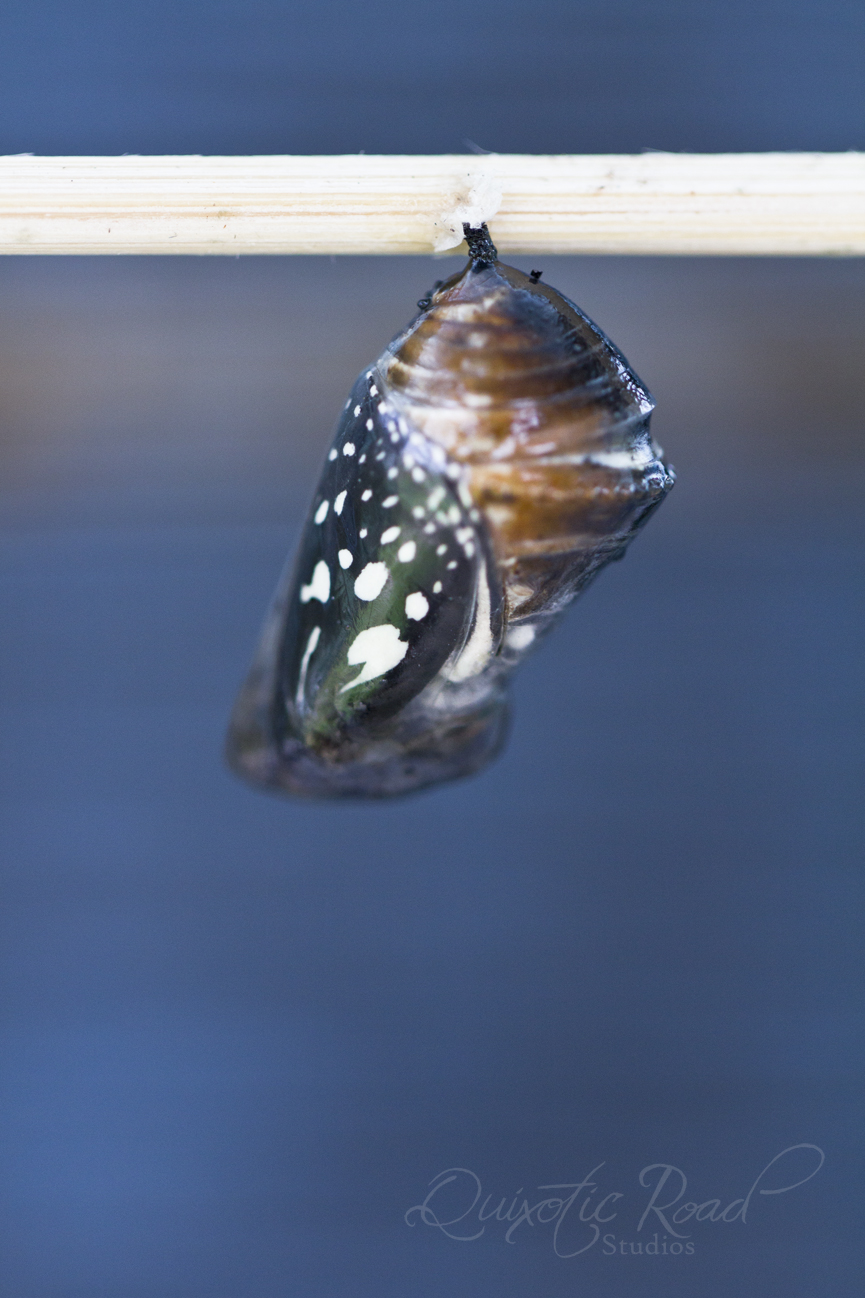 photo essay the butterflies of chiang mai quixotic road common crow butterfly chrysalis