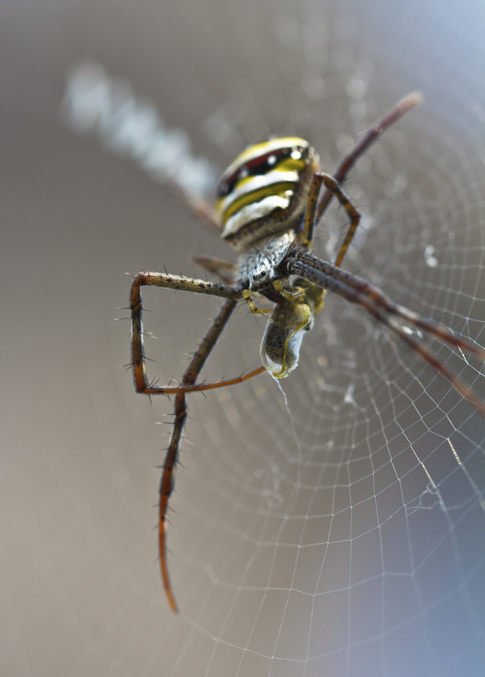 An orb-weaver spider wraps up her prey in Luang Prabang, Laos