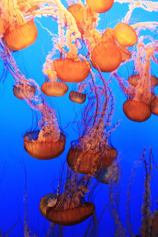 Pacific Sea Nettles float at the Monterey Bay Aquarium, CA.