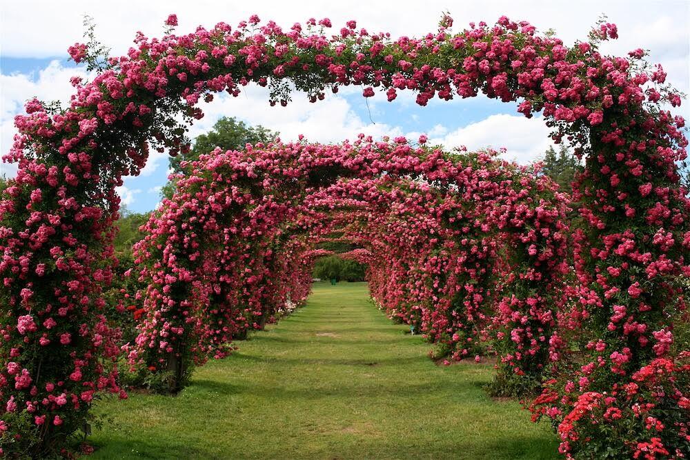 elizabeth-park-roses.jpg