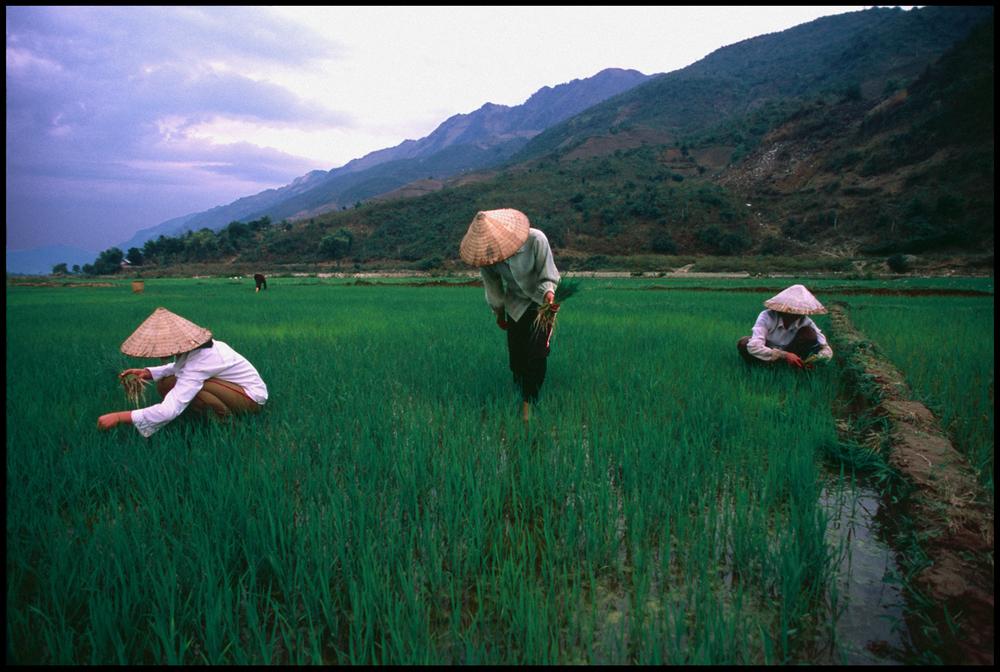 Villagers tending to their rice patties. Lai Chau. Vietnam.