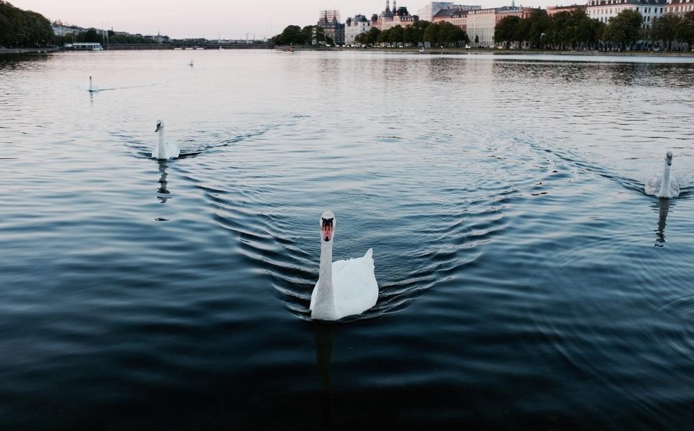 Swans! Copenhagen - Hill Reeves