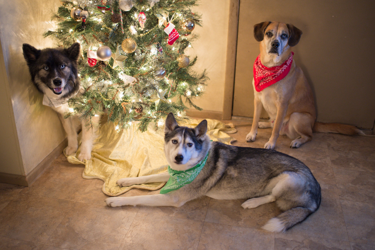 Happy Howlidays from the dogs of Blue Eyes & Spitfire!