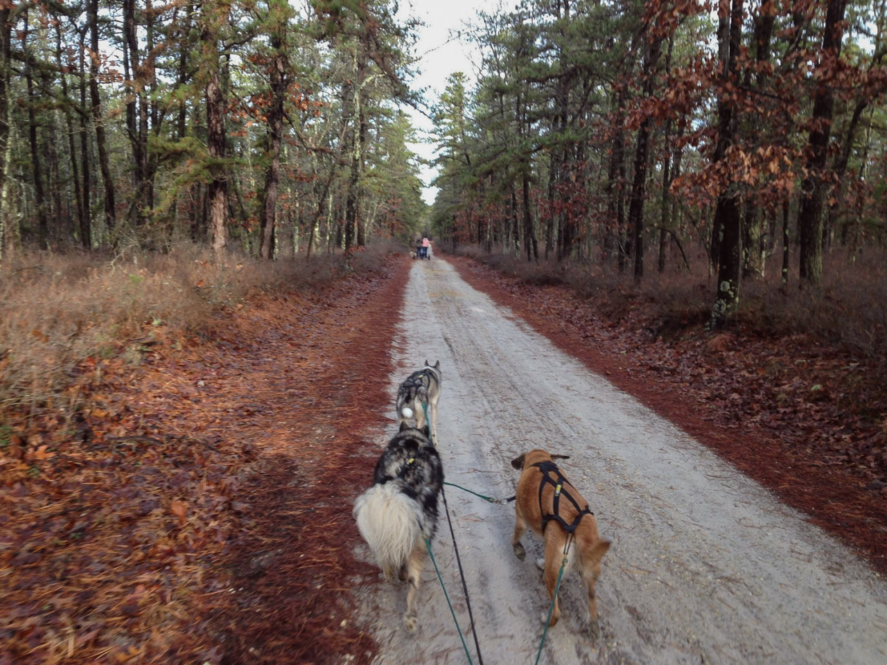 After all the rain we've had, the trails down in the Pine Barrens were more like small lakes. We tried a new 5.7 mile loop, which involved maneuvering through some huge puddles that just about submerged the the rig. The dogs didn't seem to mind. Especially Dexter – he actually ran better than ever. I guess maybe he's a Labrador mix after all.   Towards the end of our run, we caught up with Jessica's team and Bryan's team (fellow Jersey Sands mushers). It was nice having some teams to chase for the final stretch, and to get the dogs used to other dogs nearby. Passing is a different story, but I'm grateful to have other mushers involved in this crazy sport to train with me!