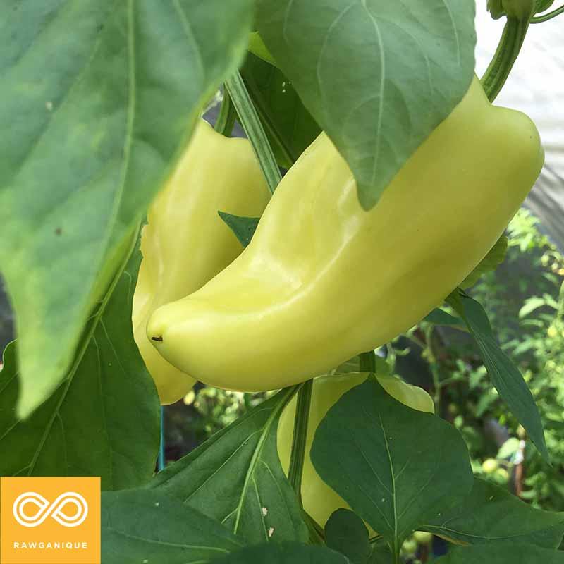 pepper-IMG_5187.jpg