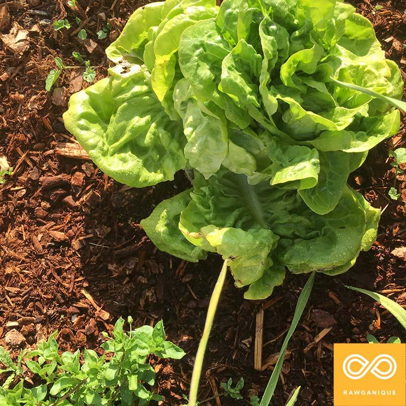 lettuce-IMG_9387.jpg