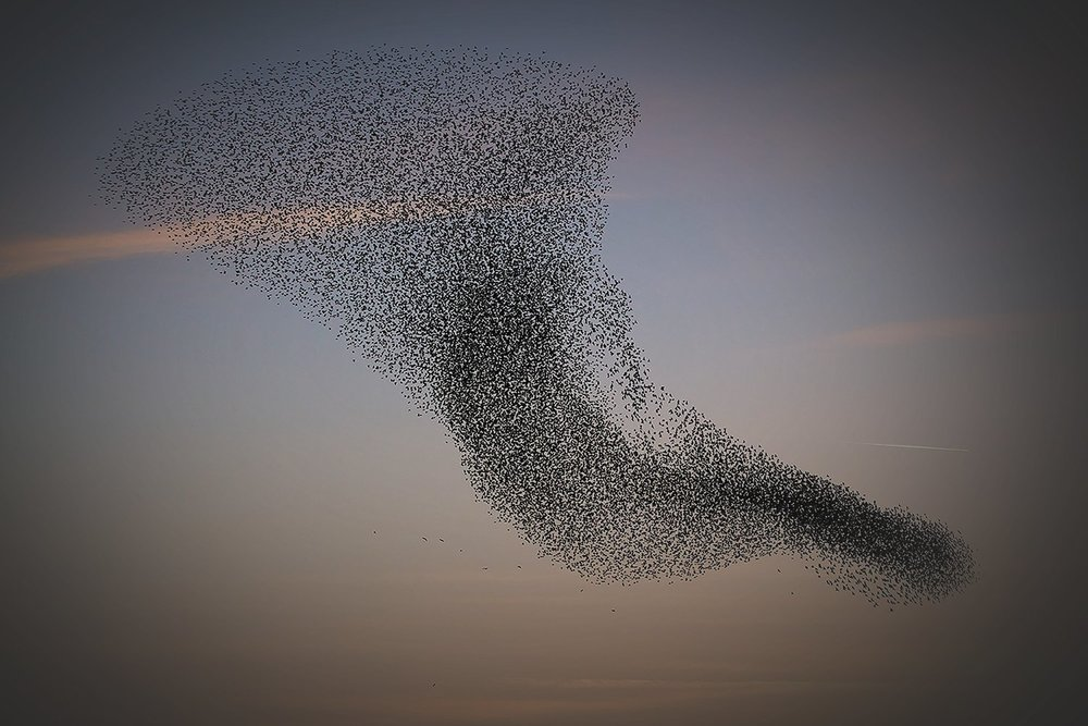 the-spys-daughter-murmuration.jpg
