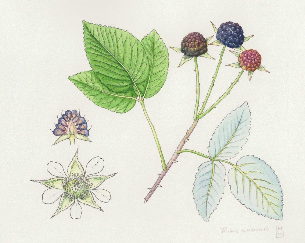 yonderjournal_datmoonshiedoe_Rubus-occidentalis-1680x1341.jpg