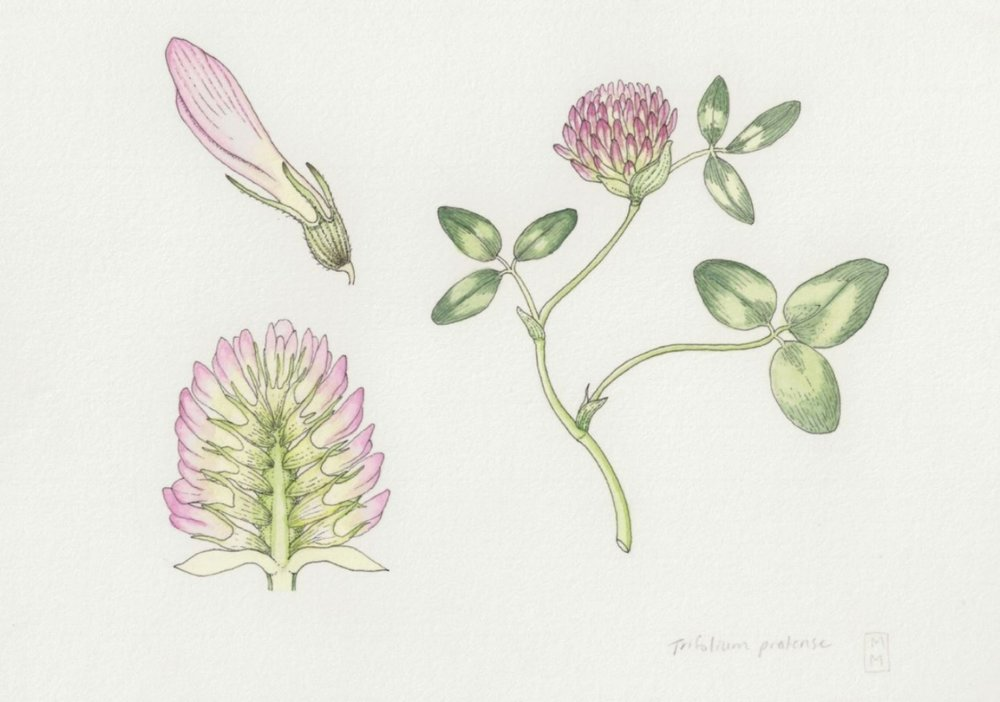 trifolium pratense mara menahan.JPG