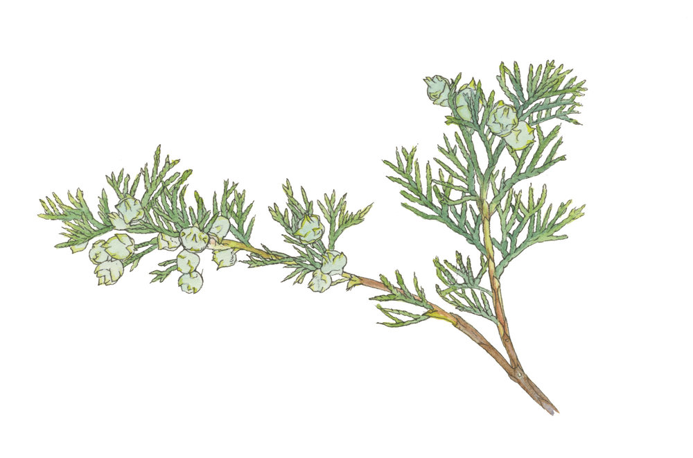 Atlantic-white-cedar_Chamaecyparis-thyoides_illustration_Mara-Menahan.jpg