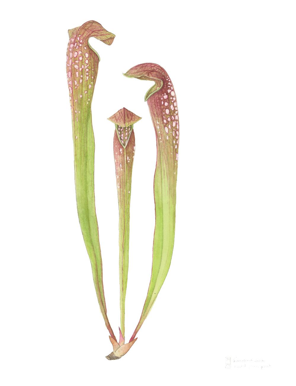 Sarracenia-minor_hooded-pitcher-plant_mara-menahan.jpg
