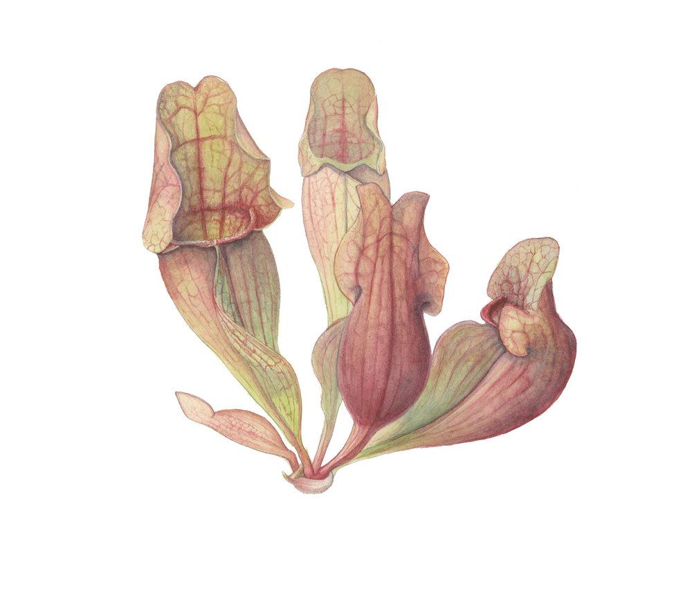 Sarracenia-purpurea_purple-pitcher-plant_mara-menahan.jpg