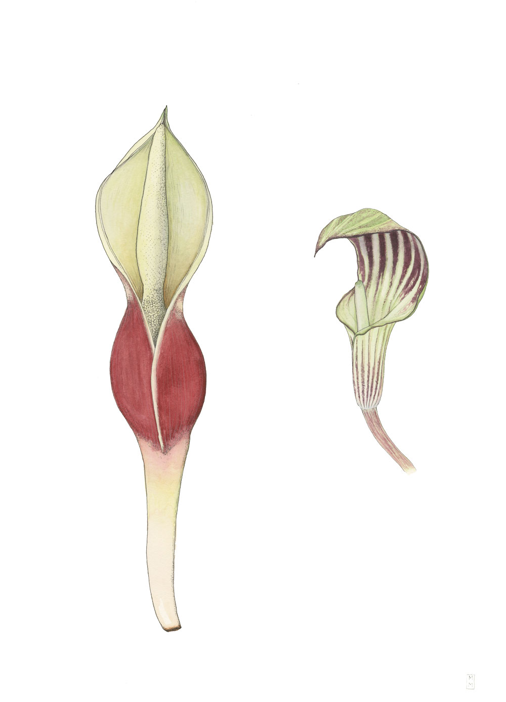 philodendron-sp-and-jack-in-the-pulpit_mara-menahan.jpg