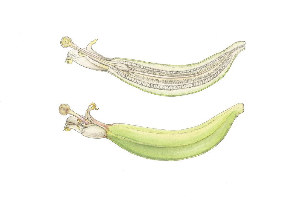 Musa-grand-nain_female-banana-flower_mara-menahan.jpg