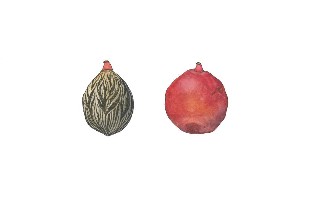 illustration_Mara-Menahan_foxtail-palm-fruit-and-seed_Wodyetia-bifurcata.jpg