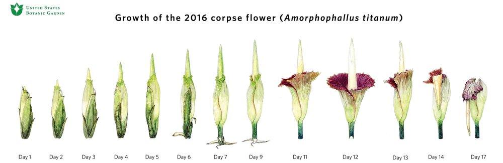 Corpse Flower Mara Menahan.jpg