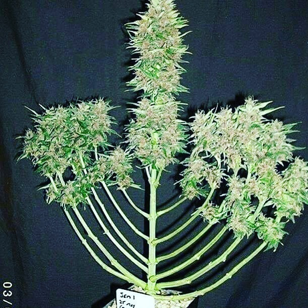 🕎 HAPPY HANUKKAH Y'ALL 🕎 ☮️SMOKE EM IF YOU GOT EM☮️ • • • • • • •@euphoriabellmore #420candles #psychedelic #euphoria #concentrates #waterpipenotbong #weedstagram420 #hanukkah #headshop