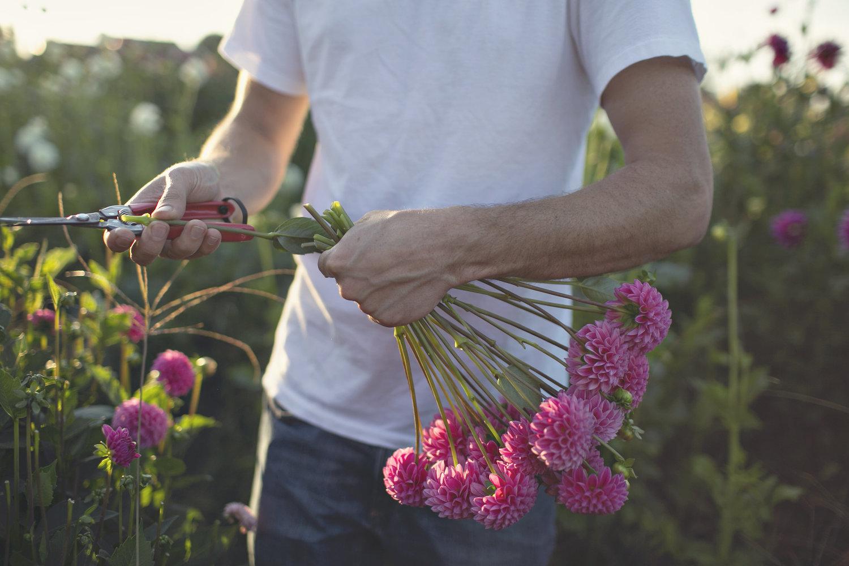Fresh Cut Flowers Dahlia Summerdreamsfarm