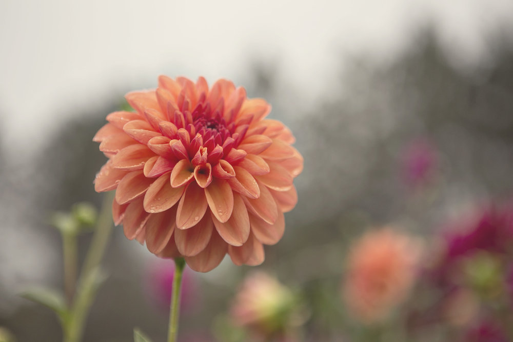 Orange Toned Dahlias