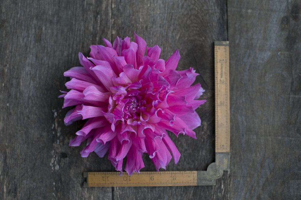 Pink Toned Dahlias